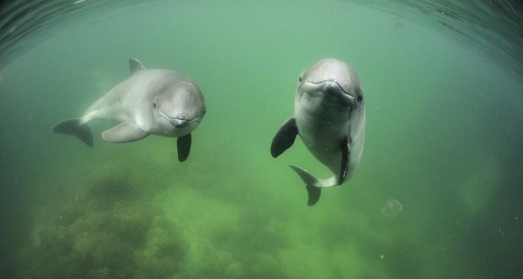 Harbour porpoises © Solvin Zankl