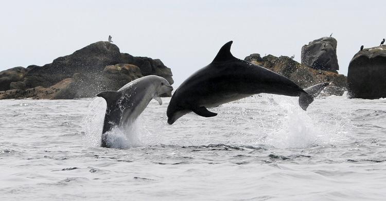 Bottlenose Dolphins. © Fabien Boileau, Office Français de la Biodiversité