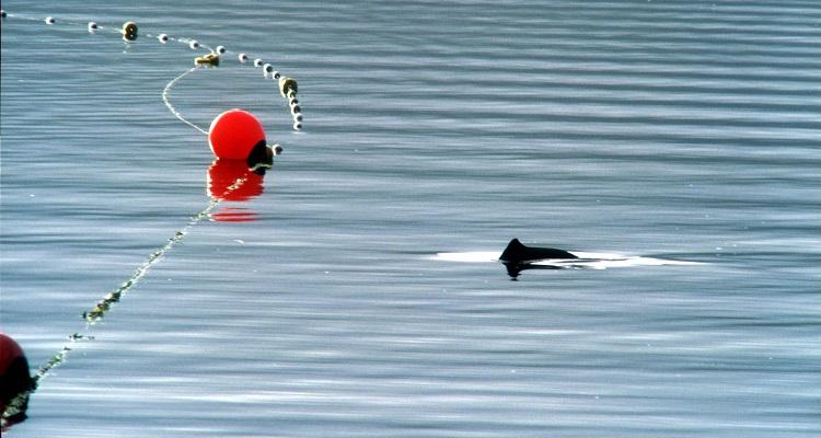 Harbour porpoise near fishing net © Boris Culik, F3