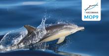 Delphinus delphis. © Dani Bichero (modified, CC BY-NC-SA 2.0 https://creativecommons.org/licenses/by-nc-sa/2.0/)