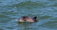 Harbour porpoise © PGH Evans