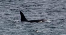Killer Whale 'Aquarius'.  © Will McEnery-Cartwright, Instagram: mc_naturelife