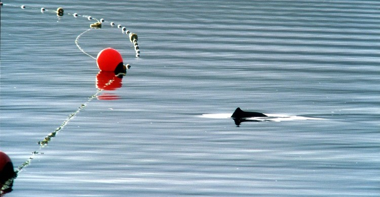 Harbour porpoise near fishing net © Boris Culik, F3